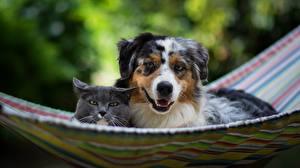 Bilder Hunde Katze Hängematte Zwei Australian Shepherd Tiere