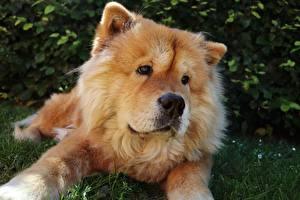 Fotos Hund Chow Chow Liegt Starren Schnauze ein Tier