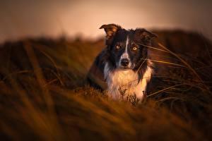 Bilder Hund Abend Border Collie Blick Gras