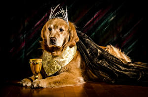Fotos Hunde Golden Retriever Weinglas