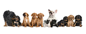 Bilder Hunde Viel Weißer hintergrund Welpe Bulldogge Spaniel ein Tier