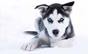 Fotos Hund Welpen Siberian Husky Pfote Schnauze Blick ein Tier