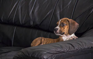 Picture Dog Couch Beagle