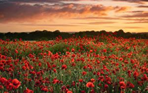 Bilder Felder Mohn Viel Sonnenaufgänge und Sonnenuntergänge Blüte Natur