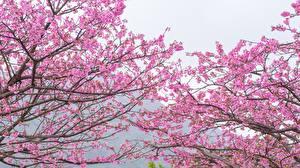 Fonds d'écran La floraison des arbres Branche Sakura Rose couleur Fleurs