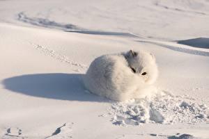 Bilder Füchse Polarfuchs Schnee Weiß