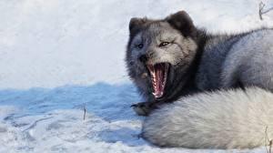 Hintergrundbilder Füchse Polarfuchs Gähnende Schnee Schwanz Graue Tiere