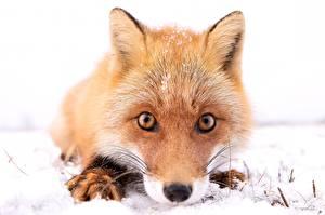 Fotos Füchse Starren Nase Schnauze Schnee Tiere