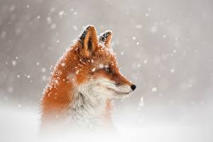 Pictures Foxes Head Snow Staring animal