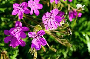 Bilder Storchschnäbel Bienen Insekten Hautnah Rosa Farbe Blumen