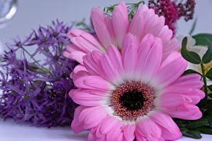 Fotos Gerbera Großansicht Rosa Farbe Blumen