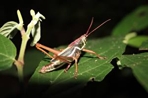 Pictures Grasshoppers Closeup Insects Foliage Animals