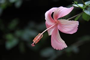 Fotos Eibisch Nahaufnahme Rosa Farbe Blütenblätter Blumen