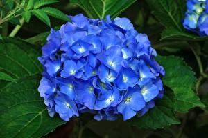Bilder Hortensie Großansicht Blau Blüte