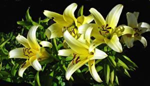 Hintergrundbilder Lilien Hautnah Gelb