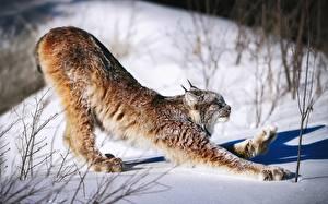 Hintergrundbilder Luchse Schnee Pfote Canada lynx Tiere