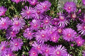 Fotos Viel Rosa Farbe Delosperma Blumen