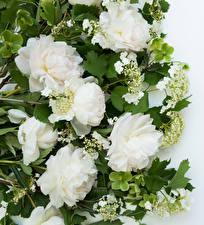 Fotos Pfingstrosen Großansicht Weiß Blüte