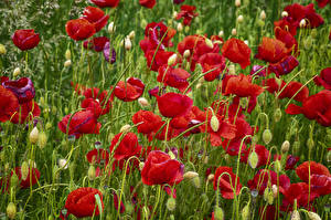 Bilder Mohn Viel Hautnah Blütenknospe Blüte