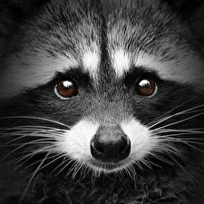 Fotos Waschbären Großansicht Augen Schnauze Blick Schnurrhaare Vibrisse Nase Tiere