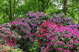 Fotos Rhododendren Strauch Natur