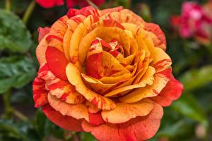 Picture Roses Closeup Orange Flowers