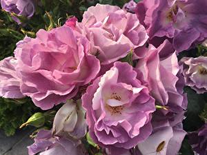 Fotos Rosen Nahaufnahme Rosa Farbe Blumen