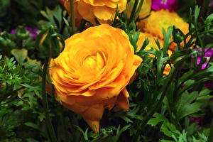 Fotos Rose Hautnah Gelb Blütenknospe Blumen