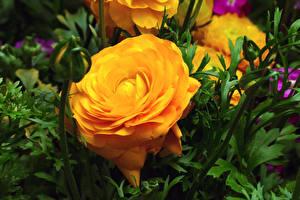 Desktop hintergrundbilder Rose Hautnah Gelb Blütenknospe Blumen