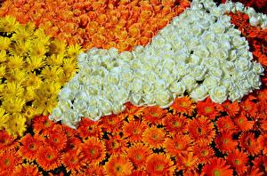 Bilder Rose Gerbera Viel Blüte