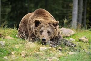 Hintergrundbilder Steine Bären Braunbär Gras Hinlegen Blick Pfote