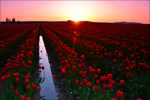 Photo Sunrises and sunsets Fields Tulip Many Red Flowers