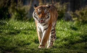 Hintergrundbilder Tiger Gras