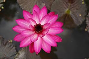 Bilder Seerosen Großansicht Rosa Farbe Blumen