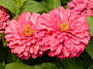 Hintergrundbilder Zinnien Großansicht 2 Rosa Farbe Blumen