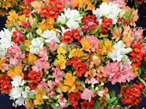 Images Alstroemeria Many Closeup Flowers