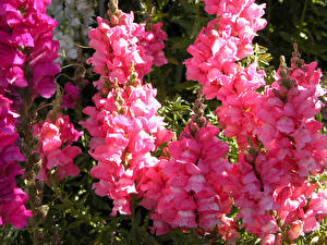 Fotos Löwenmäuler Großansicht Rosa Farbe Blumen