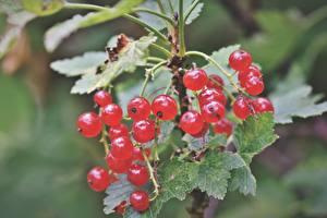 Fonds d'écran Baie botanique En gros plan Groseillier Feuille Rouge Nourriture