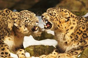 Pictures Big cats Canine tooth fangs Snow leopards Two Roar Animals