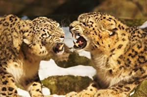 Hintergrundbilder Große Katze Eckzahn Irbis Zwei Grinsen Tiere