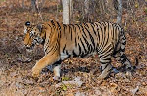 Bilder Große Katze Tiger