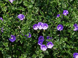 Bilder Winden Violett Blüte