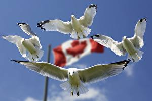 Sfondi desktop Uccello Canada Gabbiani Bandiera Volo Bianco Quattro 4 Animali