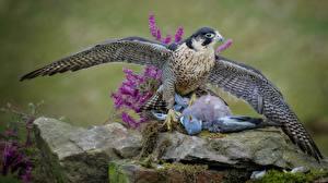 Sfondi desktop Uccelli Piccioni Accipitrini Caccia Cadavere