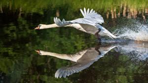 Bilder Vögel Wasser Schwäne Abheben Spiegelt Tiere
