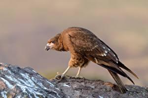 Bilder Vögel juvenile Mountain caracara