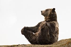 Fotos Ein Bär Braunbär Pfote Sitzen Lustiges ein Tier