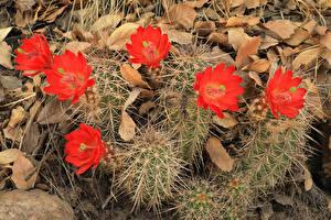 Fondos de Pantalla Cactaceae En gran plano Rojo Flores