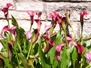 Hintergrundbilder Calla palustris Blüte