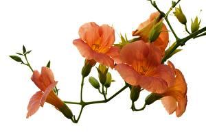 Fotos Trompetenblumen Großansicht Weißer hintergrund Tropfen Orange Blüte